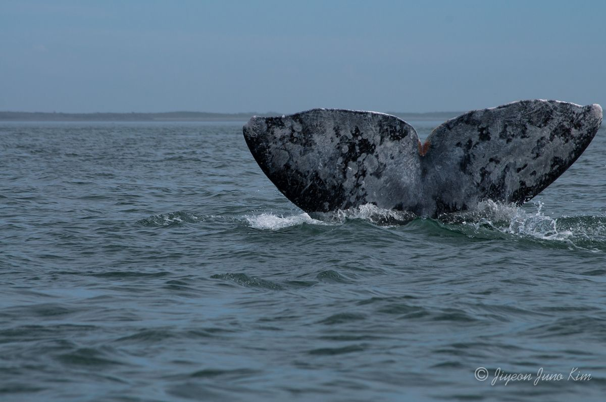 Gray Whale Watching in Adolfo Lopez Mateos in Baja California Sur
